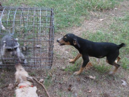 Hog and coon hunting dogs and pups for sale